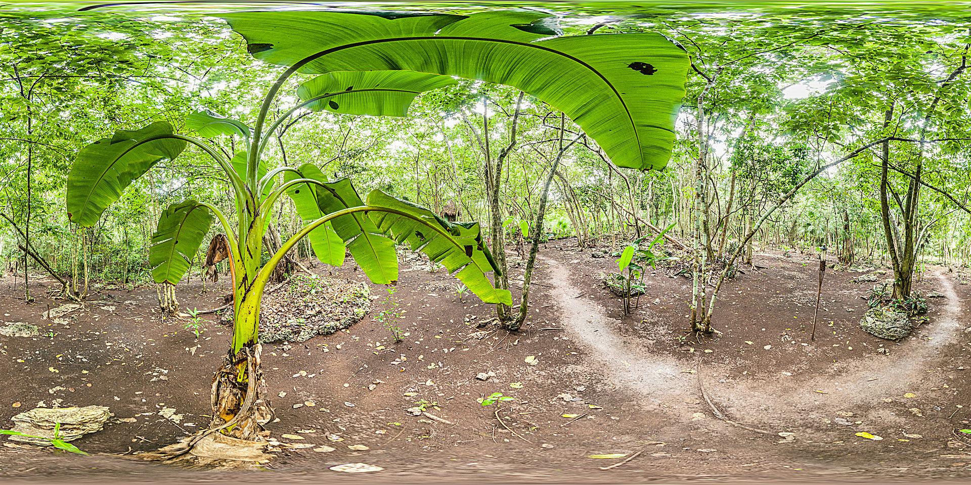 Bananenpflanze im Regenwald von Mexiko - Panorama Fotos